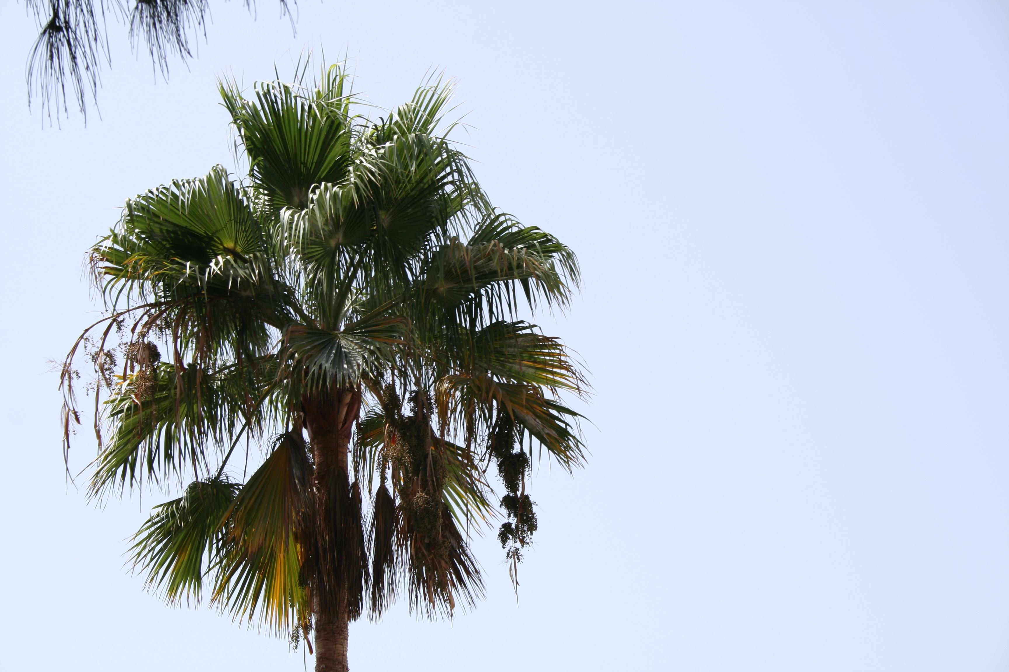 Palme auf den Kanaren