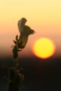 Sonnenuntergang mit Blume