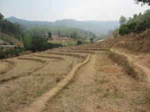 vertrocknete, braune Reisfelder.
